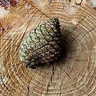 Pine rings by desertman