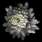 White Carnation by hagnes