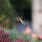 Lesser Garden Spider by David Elliott