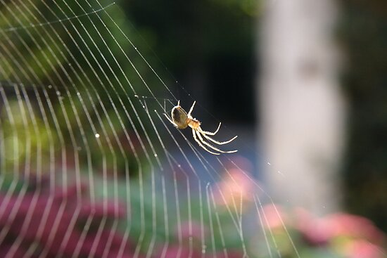 Lesser Garden Spider by David Elliott