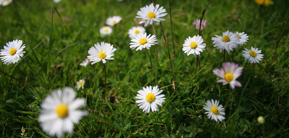 Daisys by David Elliott