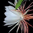 Cereus Night Blooming Flower Profile II by Bonnie T.  Barry