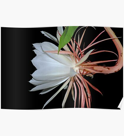 Cereus Night Blooming Flower Profile II Poster