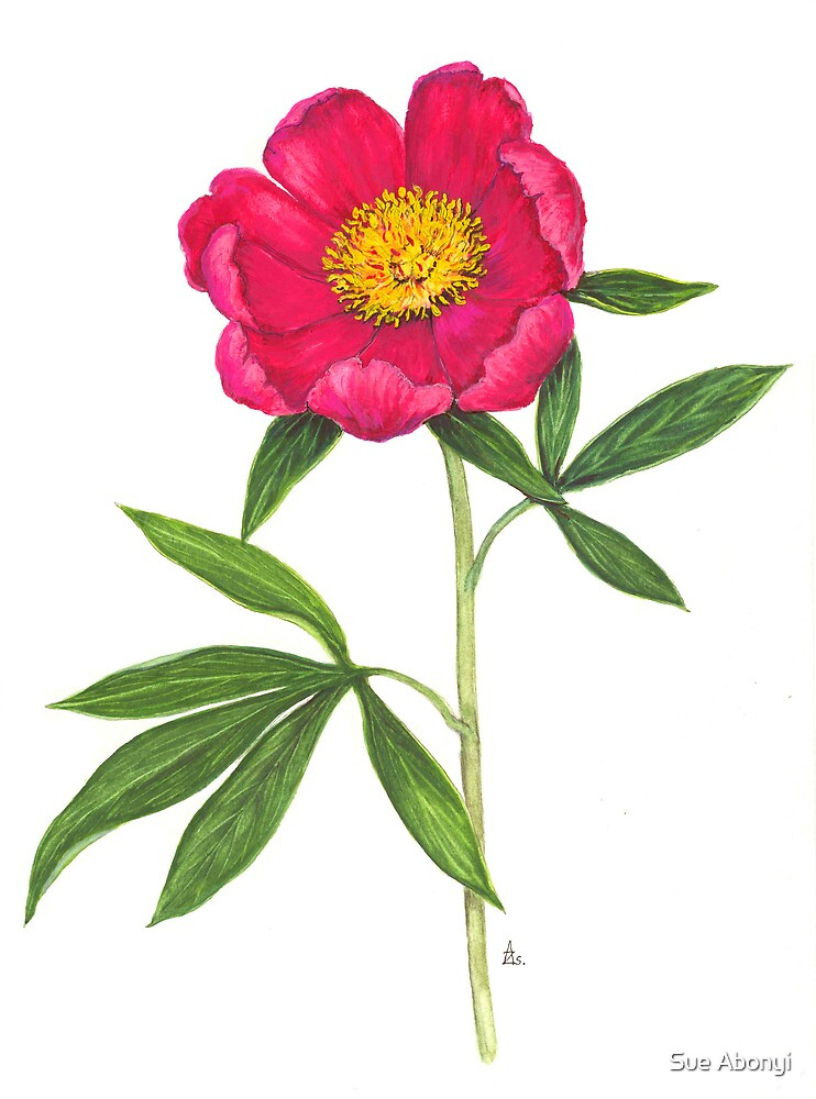 European Peony - Paeonia officinalis by Sue Abonyi