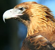 Australian Wedgetail Eagle by PYoung