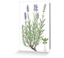 Narrow-leaved Lavender - Lavandula angustifolia Greeting Card