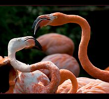 Flamingos by hdtvnomad