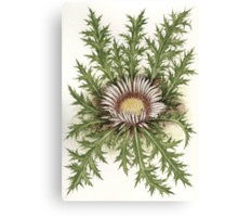 Stemless Carline Thistle - Carlina acaulis Canvas Print