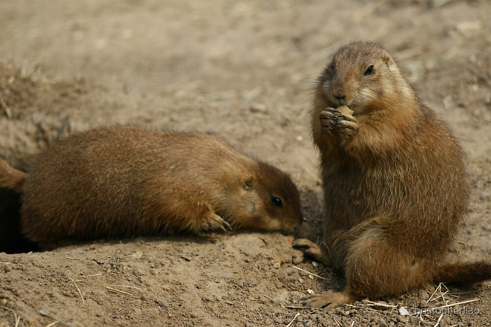 Cute Playful Groundhog by christopherliao