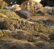 Dipper in the Gardner River by DWMMPhotography