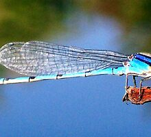 Dragonfly by Lee Anne French