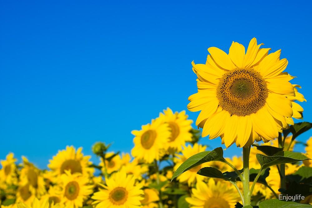 Beautiful sunflowers by Enjoylife
