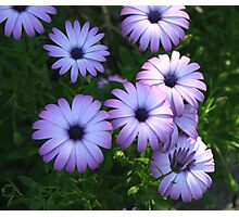 daisies in the shade Photographic Print