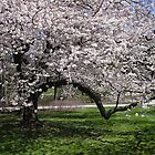 Cherry Tree in Flower by Betty Mackey