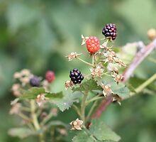 Blackberries by AbigailJoy