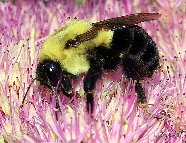 Busy Bee by PhotoBAB
