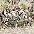 Cheetah (Acinonyx jubatus) by Deborah V Townsend