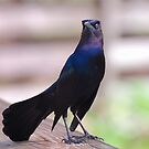 Grackles Are Vein by Franklin Lindsey