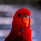 Red Lory by indiafrank