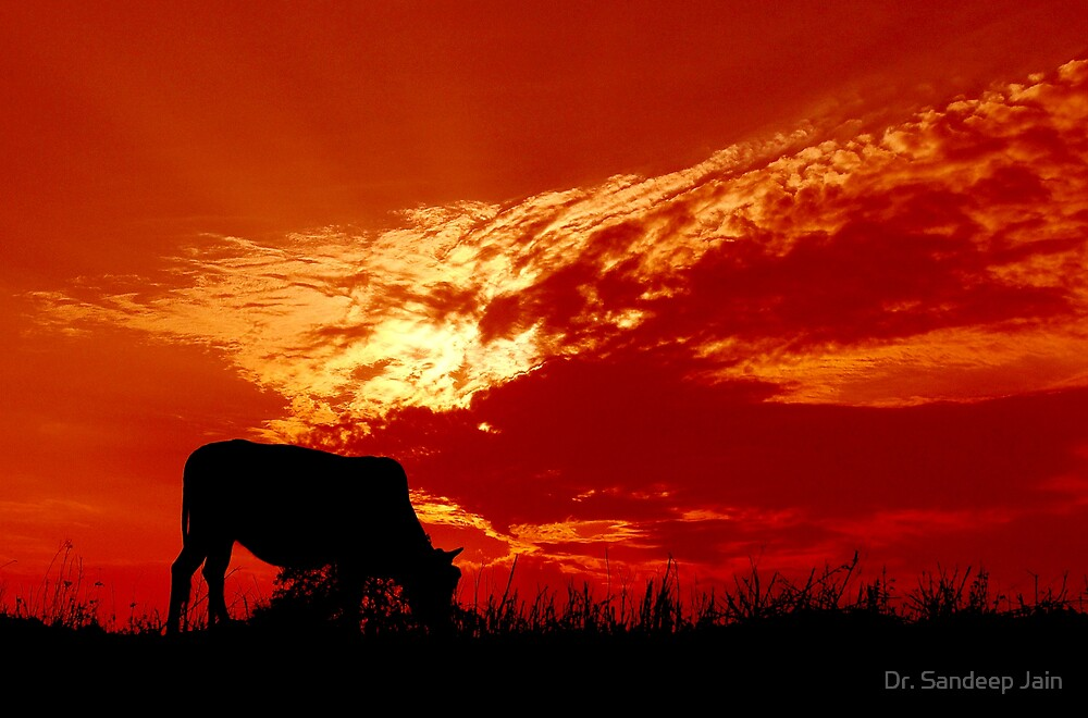 Cow at the sunset by Dr. Sandeep Jain