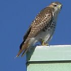 Immature (?) Red-Tailed Hawk by Navigator