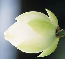 White Flower with Dark Background by atherres