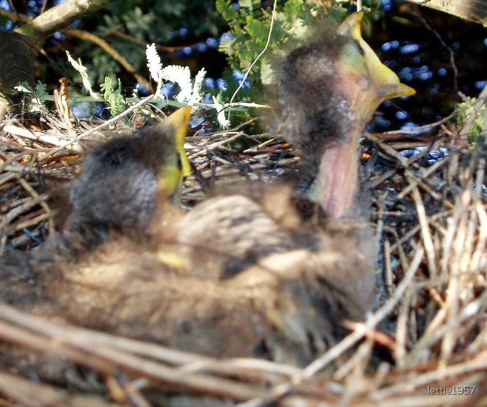 Baby Australian Miner birds - Waiting Patiently for Mum  by lettie1957