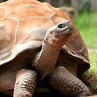 Galapagos Tortoise by Martin Pot