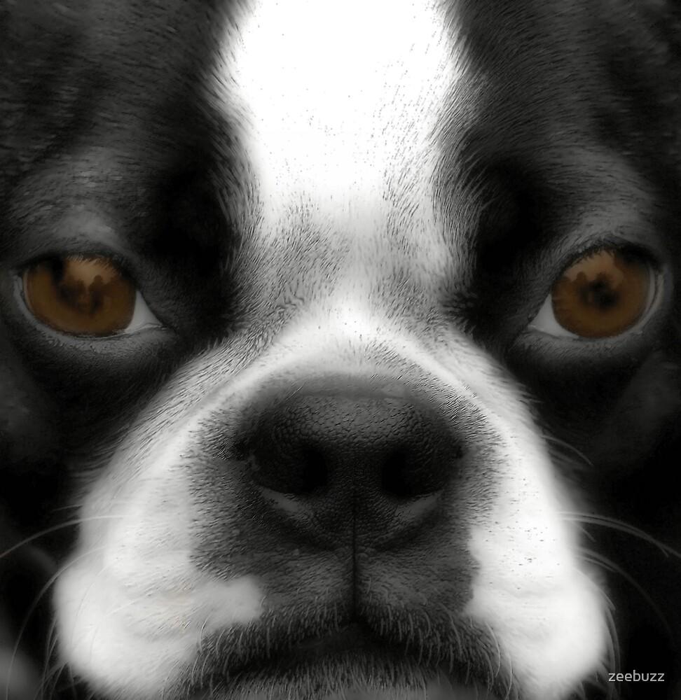 Boston Terrier by zeebuzz