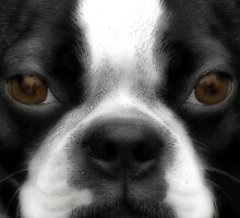 Boston Terrier by zeebuzz