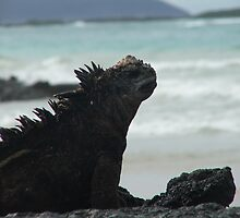 sun bathing Marine Iguana by mickeyb