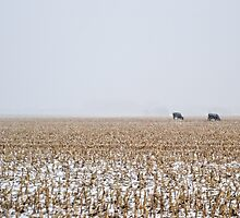 Cows in a Cornfield during Snowstorm by heartlandphoto