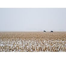 Cows in a Cornfield during Snowstorm Photographic Print