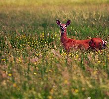 Whitetail Deer by Gaby Swanson  Photography