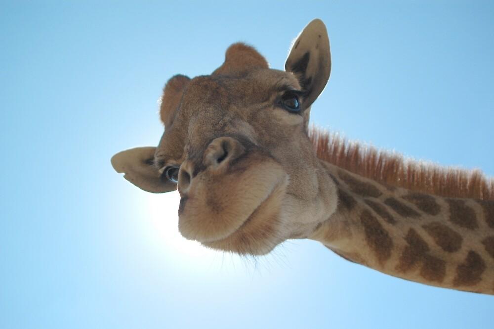 Giraffe Sunlight by Richard Lack