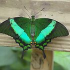 Emerald Swallowtail by PatGoltz