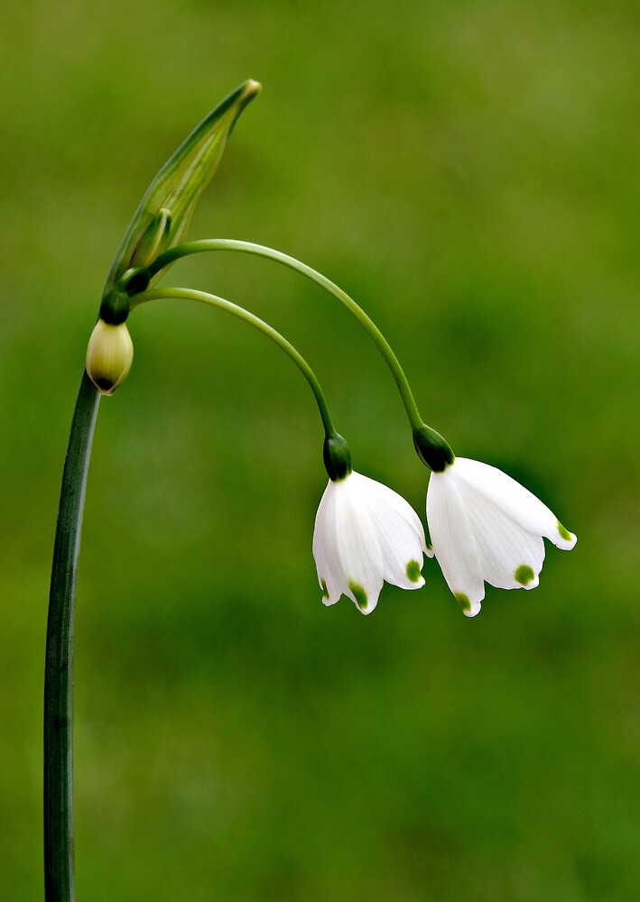 Snow Drops by kitlew