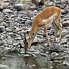 Female Impala Drinking, Tanzania by Carole-Anne
