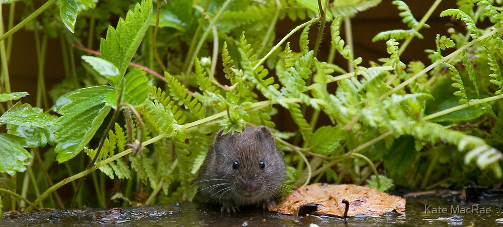 Bank Vole by Kate MacRae