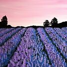 Lavender Fields by starchelle