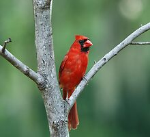 Cardinal in Fork of a Tree by Bonnie T.  Barry