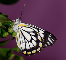 Butterfly by mattappel