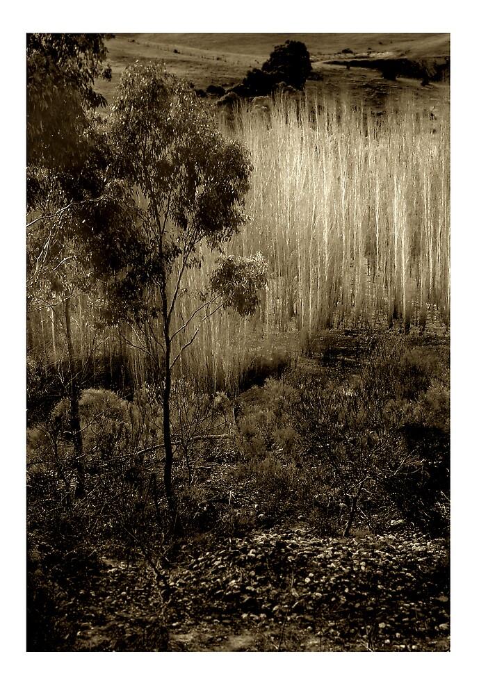 Poplars near Vaughan by Jeff Moorfoot