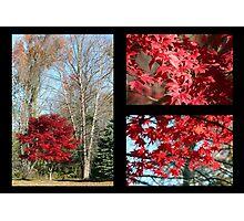 Red Maple Autumn Photographic Print