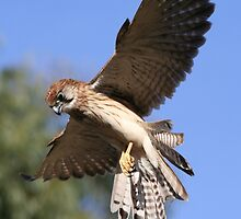 Flying Kestrel by PYoung