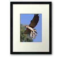 Flying Kestrel Framed Print