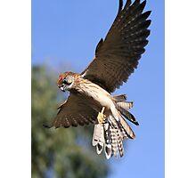 Flying Kestrel Photographic Print