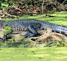 Stretch Gator by Bob Hardy