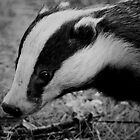 Top's the badger....... by Arthur Chambers