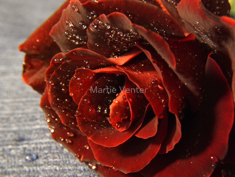 Close-up of Red Rose on Blue Fabric Background by Martie Venter